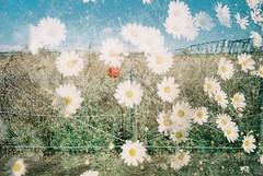 僕の白い夢、赤い蕾 (Kana Sasamoto) Tags: photo photography film filmphotography 35mm 35mmphotography streetphotography multipleexposure doubleexposure flowers flower view