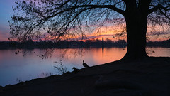 The Tree and the Sunrise (alfredomoraphotography) Tags: sanantonio woodlawnlake landscape color sunrise clouds tree ducks tranquil sony texas water sky morning a7rii flm zeiss35mmf2ze
