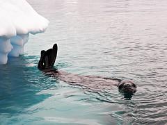 Crabeater seal, Antarctica (Therese Beck) Tags: antarctic crabeaterseal antarctica southshetlandislands antarcticpeninsula seals antarcticaseals antarcticseals touroftheantarctic photosofantarctica photosofseals photosofantarcticseals photosoftheantarctic photosofcrabeaterseal toursofantarctica