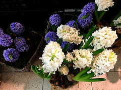#Hyazinthen (RenateEurope) Tags: hyacinthus renateeurope iphoneography 2018 violet white spring flowers flora hyazinthen awesomeblossoms
