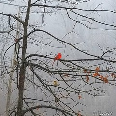 Cardinals checking each other out on a foggy morning. Please let me know what you think. (Edale614) Tags: whatdoyouthink birds trees nature naturelovers fog foggy cardinals columbus ohio winter
