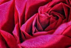 Roses are Red!🌷😁🌷 (LeanneHall3 :-)) Tags: rose red rosepetal petals flower closeup closeupphotography macro macroextensiontubes macrophotography flowerarebeautiful flowersarefabulous flowerflowerflower canon 1300d