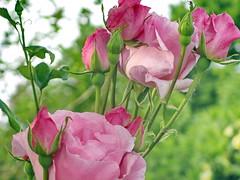 Rosas rosas 🌹  EXPLORE  February 13th, 2018 (Micheo) Tags: rosas roses bds flowers flores capullos amor love valentine explore ok best