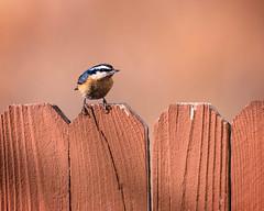 Nuthatch (droy0521) Tags: bokeh nuthatch wildlife winter backyardphotography bird colorado outdoors places fence