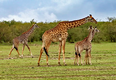 GIRAFFE FAMILY (gazza294) Tags: giraffe masaimara naturetrek nationalgeographic wildlife wildlifemagazine wildlifephotography wildlifephotographer nature kenya flicker flickr flckr flkr flickrexplore gazza294 garymargetts
