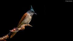 Indian Paradise Flycatcher (Terpsiphone paradisi) (Sanjay Dandekar) Tags: indianparadiseflycatcher female terpsiphoneparadisi lowkey westernghats oldmagazinehouse flycatcher birdportrait bird sigma150600mmsports nikon d500