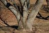 1442-77*B Albizia julibrissin (Silk Tree, Mimosa, Albizia) (smrozak) Tags: suzannemrozak 17feb2018 144277b albiziajulibrissin silktree mimosa albizia