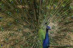 Price of a Beauty (Photonistan) Tags: 7dwf peacock bird beautiful tail peafowl colorful blue green crown photonistan nikon d5300 lens nikkor nature national love india asia captivatedbird