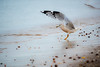 Overlooked Elegance (learnliveinspire) Tags: seagull bird birding nature wildlife photo photography beech natgeo sand water sound long island ny winter beautiful perfect