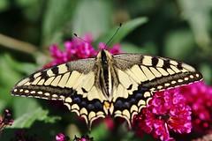 Schwalbenschwanz (Papilio machaon) (Hugo von Schreck) Tags: hugovonschreck schwalbenschwanz papiliomachaon butterfly schmetterling macro makro insect insekt greatphotographers canoneos5dsr tamron28300mmf3563divcpzda010 buzznbugz