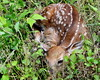 just born (Judecat (settling in for the winter)) Tags: nature wildlife pennsylvaniawildlife fawn spotted newborn whitetaileddeer whitetailfawn