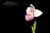 Phragmipedium Spot On 'Nez Perce Creek' AM/AOS (Orchidelique) Tags: nature plant flower exotic orchid hybrid phragmipedium phrag spoton nezpercecreek am aos ncjc evansgoldner pinkpanther woodstreamorchids