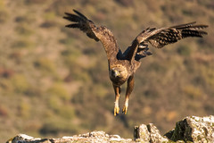 Golden Eagle - Sierra de Andujar - Spain (wietsej) Tags: golden eagle sierra de andujar spain sony rx10 iv rx10m4 bird prey nature bif flying flight