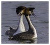 Loving Grebes (timgoodacre) Tags: greatcrestedgrebe grebe bird waterbird riverbird waterfowl water loving lovemaking courting nature