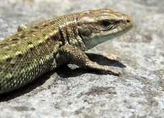 Small, Yet Mighty (Kevin Pendragon) Tags: common lizard green brown stone summer nature outdoors priddy scales claws