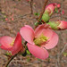 flowering quince - new shot