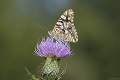 Butterfly 2017-182 (michaelramsdell1967) Tags: butterfly butterflies macro nature insect insects animal animals green bokeh beauty beautiful pretty wild wildlife wilderness upclose closeup vivid vibrant thistle wings purple field meadow bug bugs moth outside zen