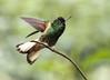 IMG_6460 Buff-tailed Coronet (suebmtl) Tags: guangolodge papallacta napoprovince ecuador bird birding hummingbird bufftailedcoronet boissonneaua flavescens