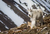 Mountain Goat on Quandry Peak (donovancolegrove) Tags: rock alpine nature outdoor horn snow male goat steep beard white colorado animal mammal cliff slope highaltitude mountain 2x3