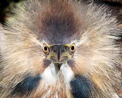 Face Off (Melissa James Photography) Tags: botauruslentiginosus americanbittern bittern bird wader wadingbird secretive wildlife sweetwaterwetlandspark nikond500 nikon300f4