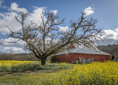 Red, Yellow and Blue (allentimothy1947) Tags: califonia calistoga napacounty cactus clouds fields flower mustard plants sky trees yellow barn red blue green architecture roof silver spring nature road path flowers tree oak hills