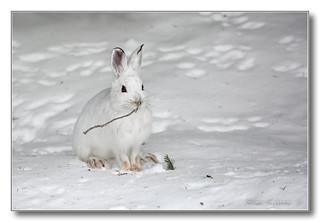 1E1A4037-DL   Lièvre d'Amérique / Snowshoe hare.