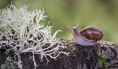 The Trouble With Lichen (SkyeWeasel) Tags: macromondays myfavouriteread macro lichen fruiticose shrubbylichen snail gastropod mollusc animal roadblock johnwyndham thetroublewithlichen novel ngc
