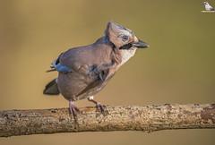 "Windy Jay (Mick Erwin) Tags: nikon afs 600mm f4e fl ed vr lens d850 ""mick erwin"" stoke trent staffordshire wildlife nature ""nikon d850"" jays eurasianjay jaybird eurasian jay garrulus glandarius corvid"