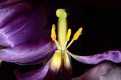 tulip (Wolfgang Binder) Tags: tulip macro flower blossom nikon d7000 zeiss planar planart2100 strobe strobist