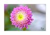 Flower (Fujigraf) Tags: flower blume farbe rosa grün weich samt fuji 56mm xt20
