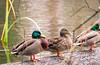 Duck Row (arohila98501) Tags: job isaacduke signs duke issac