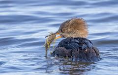A happy hen (sfdonald) Tags: harlecouronne merganser serretacapuchona crayfish duck fish fishing hoodedmerganser lophodytescucullatus hen ontario