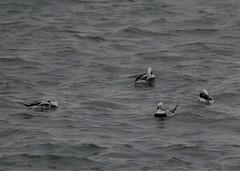 Long tail ducks (jewett1066) Tags: longtailedduck clangulahyemalis