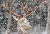 Snowy Stag Head Shot (zandy1978) Tags: red deer stag portrait head shot wild wildlife nature natural winter weather antlers points snow scotland highlands cairngorms canon mammal majestic