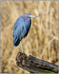 Little Blue Heron DSC_3166b (blindhogmike) Tags: little blue heron berkeley county moncks corner sc south carolina vogel oiseau pájaro