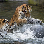 Two tigers and a ball thumbnail