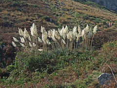 Pampas Grass on cliff slope near Zennor (Philip_Goddard) Tags: europe unitedkingdom britain british britishisles greatbritain uk england southwestengland cornwall penwith landsendpeninsula zennor coastpath coast southwestcoastpath nationaltrail southwestway northcoast nature naturalhistory plants floweringplants angiosperms wildflowers gramineae grasses poaceae cortaderia cortaderiaselloana pampasgrass