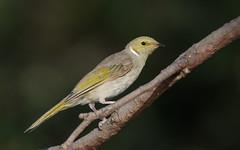 White-Plumed Honeyeater (The Gullet) Tags: white plumed honeyeater bird flash sb700 better beamer