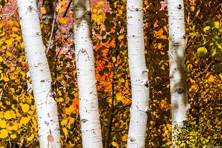 Peak Fall Colors High Sierras California! Bishop Creek Epic Autumn Colors Fine Art Landscape Photography!