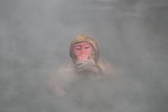 Snow Monkey (Makoto Naito) Tags: snow monkey nagano japan onsen 2016