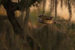 Happy Superb Owl Day! (PeterBrannon) Tags: bird birdphotography flight florida lakeland nature strixvaria wildlife wings barredowl dusk owl silence