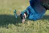 Blue Peacock (Pavo cristatus) (Rudaki1959) Tags: birds bird nature earthnaturelife animal animalphotography peacock grass colorful natural walking netherlands