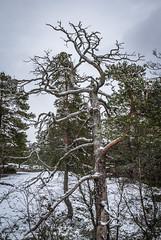 Kelo (Markus Heinonen Photography) Tags: kelo puu tree träd luonto nature kasavuori kasaberget espoo esbo suomi finland mänty pine metsä forest