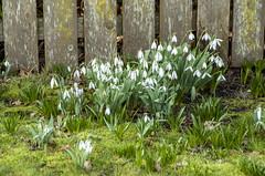 2018-02-09_13-45-27 Spring Flowers (canavart) Tags: oakbay bc britishcolumbia vancouverisland spring crocus snowdrop crocuses snowdrops garden