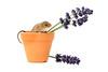 The gardener (hehaden) Tags: rodent mouse harvestmouse micromysminutus lavender flowerpot clay studio whitebackground captivelight bournemouth