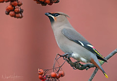 Waxwing (oddie25) Tags: canon 1dx 600mmf4ii waxwing wildlife wildlifephotography winter birds birdphotography bird nature naturephotography rowan berries