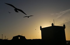 Flying over the Fort (Alex L'aventurier,) Tags: maroc morocco silhouette fort sunset coucherdesoleil birds oiseaux seagulls wall mur fortification historic historique sky ciel tour tower shadow ombre flying essaouira
