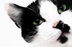 (hammer.adrienn) Tags: mycat beautiful cat pet animal portrait cute