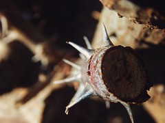 (TheAramet) Tags: photo macro dof spikes plant brown