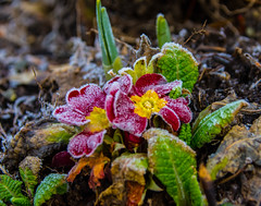 Frozen flowers and no snow on the west coast of Norway. (evakongshavn) Tags: frozen frozenleaves leaf leaves frozenleaf flower red nature natur flora tinytreasuresinflora